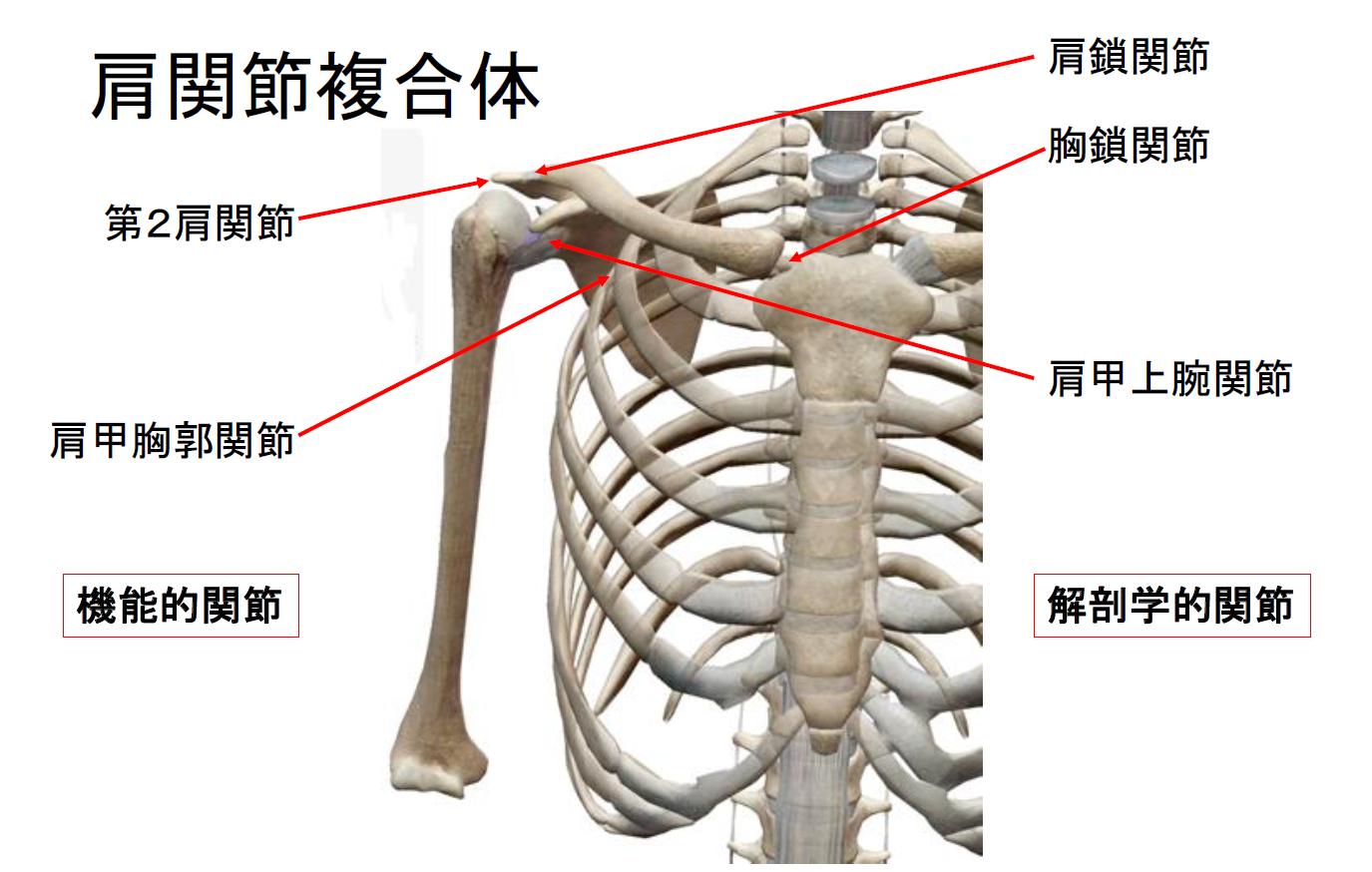 肩関節と五十肩① ~そもそも肩関節とは?~