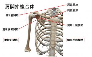 肩の痛みで悩んでいる方 Part3~肩関節複合体とは~