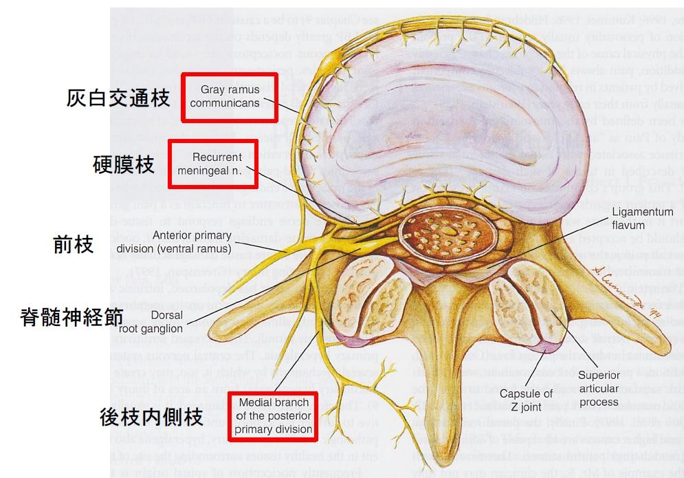 院内勉強会 ~脊髄神経から診る腰痛~ Part1 腰椎の支配神経
